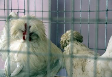 Araba Değerindeki Tavuklar, Meraklılarıyla Buluştu