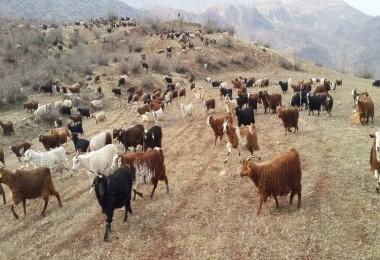 Siirt Tiftik Keçisi Gen Kaynakları Bakımından Koruma Altına Alındı