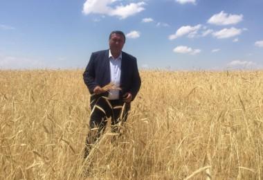 """Gürer: Buğdayda """"yel vurgunu"""" çiftçiyi perişan etti"""