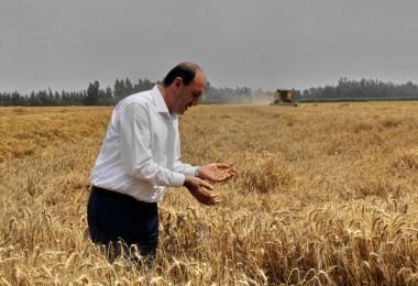 Adana'da buğday hasadı devam ediyor