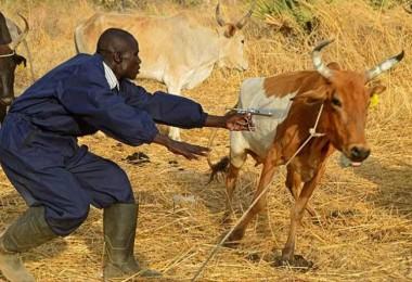 Sudan'dan Büyükbaş ve Küçükbaş Hayvan Alınacak