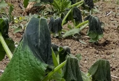 Tarımsal Ürünleri Kırağı Vurdu, Çiftçi Strese Girdi