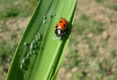 İl Müdürlüğü Uyardı! Pamuk Tarlalarında Yaprak Biti Artışı Var
