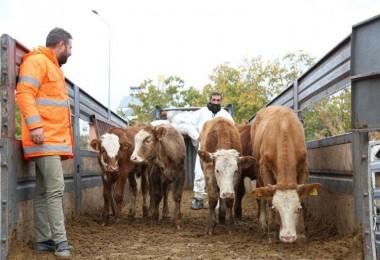 Genç Çiftçilere 400 Düve Dağıtıldı