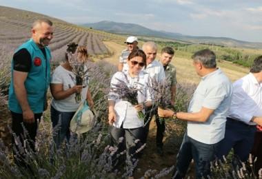 Türkiye'nin En Büyük Lavanta Bahçesinde Hasat Başladı