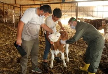 Yalova'da Güz Dönemi Şap Aşılama Kampanyası Başladı