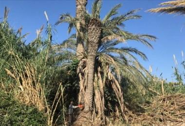 Palmiye Kırmızıböceği İle Mücadele Çalışmaları Sürüyor
