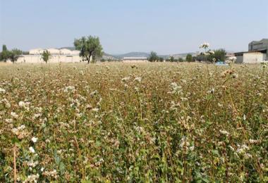 Bu Tarlalarda Üretilen Karabuğday Ücretsiz Olarak Çölyak Derneğine Verilecek