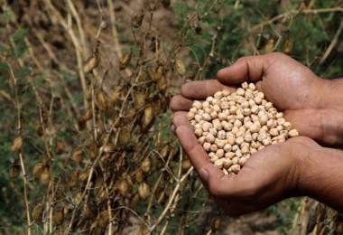 Adana'da Nohut Tarımı Yaygınlaşıyor