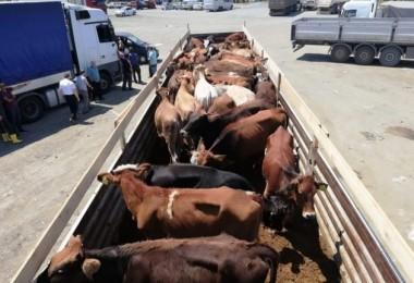 Trabzon'da proje kapsamında genç çiftçilere 575 adet sığır dağıtıldı