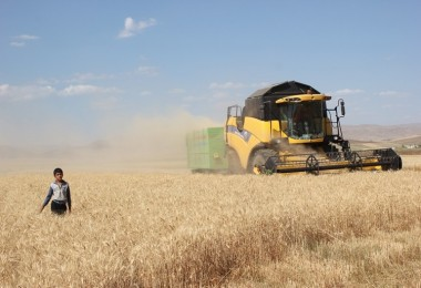 Muş'ta buğday hasadı başladı