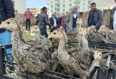 Yetiştiricilere 12 bin 500 adet hindi palazı dağıtıldı