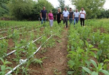 Bartın'da Alternatif Ürün Olarak Stevia Bitkisi Üretildi
