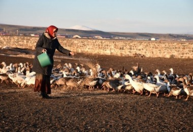 Kar Yağışının Ardından Kaz Çiftliklerinde Hummalı Bir Çalışma Başladı