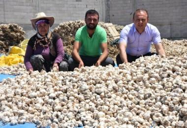 Aksaray'da Sarımsak Hasadı Başladı