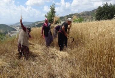 Akdeniz Bölgesinin İlk Buğday Hasadı Antalya'dan