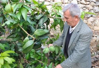 Altın Yumurtlayan Meyve! 12 Ağaçtan 45 Bin Lira Kazandı