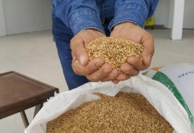Bu buğdayın kilosu 5 lira