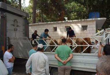Altınözü'nde Genç Çiftçilere Hayvan Dağıtımı Yapıldı