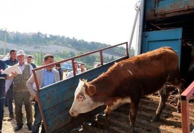 Genç Çiftçilere Büyükbaş Hayvan Dağıtımı Yapıldı