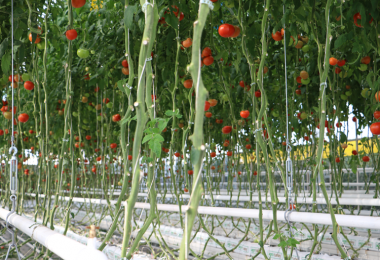 2 Bin Çiftçi ile 6 Milyon m² Alanda 250 Bin Ton Üretim!