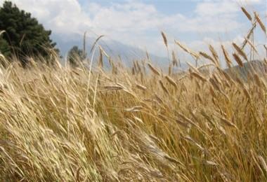 Seydikemer İlçesinde Önder Çiftçiler Yerel Tohumlara Yöneliyor