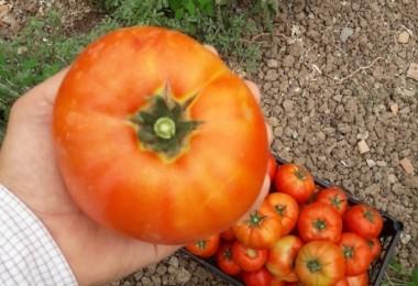 Büyükşehir Destekli Domates Fideleri Çiftçinin Yüzünü Güldürüyor