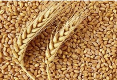 ZMO Buğday Raporunu Açıkladı