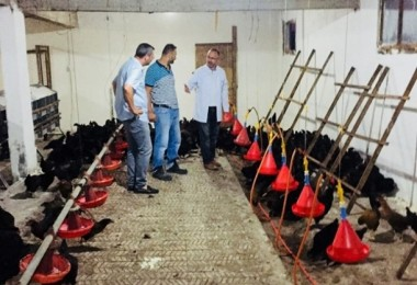 Çiftçilere 9 bin gezen tavuk desteği