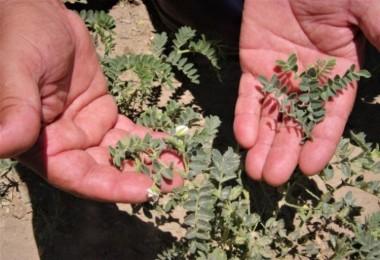 Karaborsaya Düşen Zirai İlaç, Çiftçinin Belini Büküyor