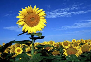 Yağlık ayçiçeği desteği %25 artırıldı