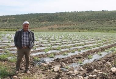 Kavun üreticisi hasat için gün sayıyor