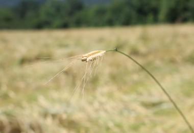 Iza Buğdayı İncelemeleri Tarla Günü Etkinliği İle Kutlandı