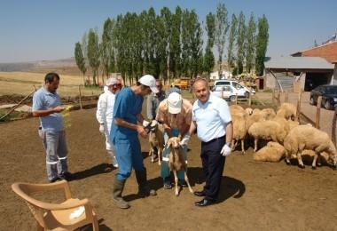 Sivas'ta Aşılama ve Küpeleme Çalışmaları Devam Ediyor