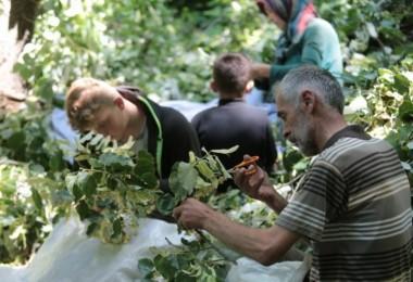 Türkiye'nin En Büyük Ihlamur Ormanlarında Hasat Başladı