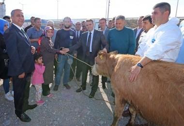 Genç Çiftçilere 115 Büyükbaş Hayvan Dağıtıldı
