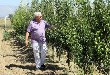 Çocukluk hayali armut bahçesini kurdu; 100 ton ürün bekliyor