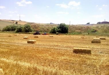Saman krizi kapıda: Fiyatı arpa ve buğdayla yarışıyor