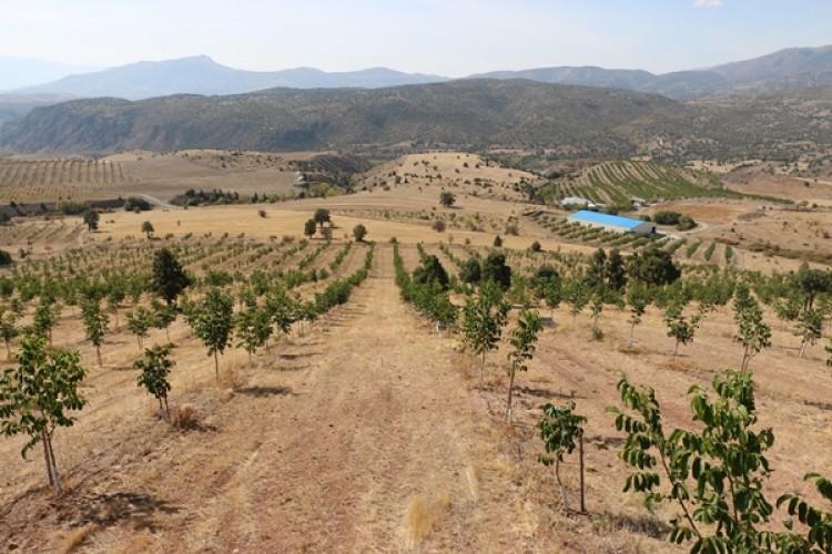 Erzincan'da Ceviz Üretimi Her Geçen Gün Artıyor