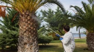 Aliağa'da Kırmızı Palmiye Böceğine Geçit Yok