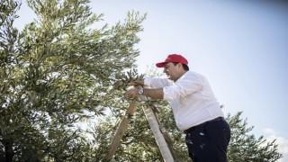 Başkan Dutlulu, zeytin hasadı yaptı