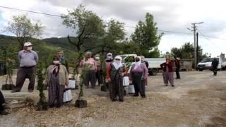 Büyükşehir Manavgat'ta defne fidanı yardımı yapıldı