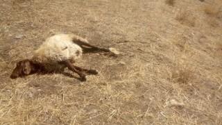 Çoban uyuya kalınca kurtlar sürüye saldırdı: 30 koyun telef, 50'si kayıp