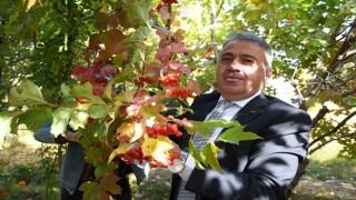 İl Müdürü Şahin gilaburu hasadına katıldı