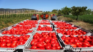 Irak'a taze domates ihracatı serbest Irak taze domates ithalatı yasağını kaldırdı