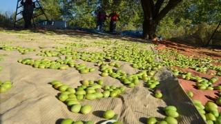 Pandemi, sofralık zeytin ihracatında rekor getirdi