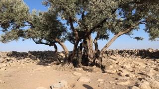 Şanlıurfa'da 1350 yıllık Zeytin ağacı bulundu