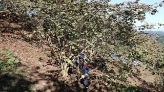 Başkan Güler'in fındık bahçelerindeki verimi iki katına çıkaracak 'Fınver' projesi büyük ilgi gördü