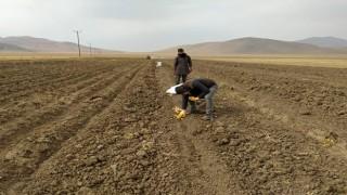 Çaldıran Belediyesinin ektiği patatesin hasadına başlandı