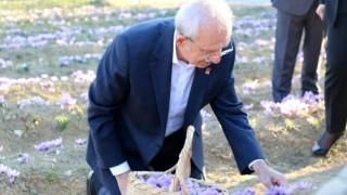 CHP Genel Başkanı Kılıçdaroğlu Safran tarlasında hasat yaptı